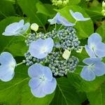 Hydrangea macrophylla Blauling (2)