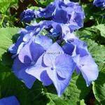 Hydrangea macrophylla Blaumeise (3)