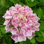 Hydrangea macrophylla Camilla (4)