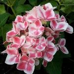 Hydrangea macrophylla Camilla (5)