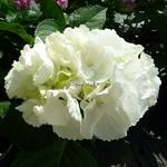 Hydrangea macrophylla Clarissa (4)