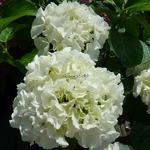 Hydrangea macrophylla Clarissa (1)