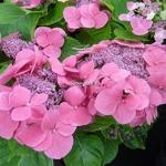 Hydrangea macrophylla Dolce Fragola (3)