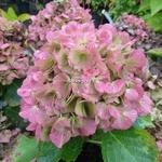 Hydrangea macrophylla Early Sensation (12)
