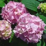 Hydrangea macrophylla Endless Summer (2)