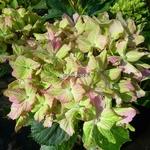 Hydrangea macrophylla Fantasia (2)