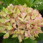 Hydrangea macrophylla Fantasia (3)