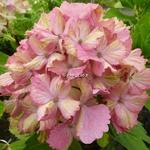 Hydrangea macrophylla Fantasia (4)