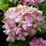 Hydrangea macrophylla Fantasia (5)
