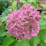 Hydrangea macrophylla Goliath (2)