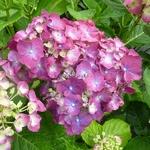 Hydrangea macrophylla Holebird Purple