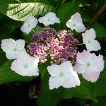 Hydrangea macrophylla Jean Varnier (1)