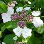 Hydrangea macrophylla Jean Varnier (4)