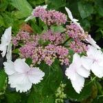 Hydrangea macrophylla Jean Varnier (2)