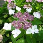 Hydrangea macrophylla Jean Varnier (3)