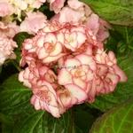 Hydrangea macrophylla Miss Saori (2)
