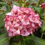 Hydrangea macrophylla Miss Saori (6)