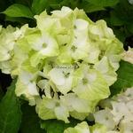Hydrangea macrophylla Noblesse (1)