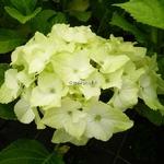 Hydrangea macrophylla Noblesse (3)
