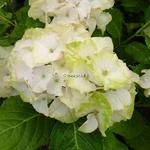Hydrangea macrophylla Noblesse (2)