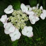 Hydrangea macrophylla Sandra (4)
