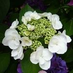 Hydrangea macrophylla Sandra (16)