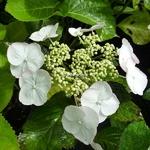 Hydrangea macrophylla Sandra (20)