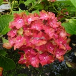Hydrangea macrophylla Schloss Wackerbarth (6)