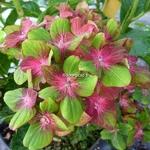 Hydrangea macrophylla Schloss Wackerbach (6)