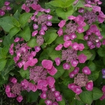 Hydrangea macrophylla Zaunkonig