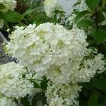 Hydrangea paniculata Bobo (4)