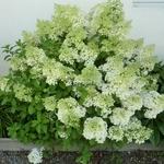 Hydrangea paniculata Bobo (13)
