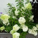 Hydrangea paniculata Bobo (6)