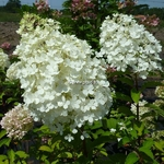 Hydrangea paniculata Bobo (12)