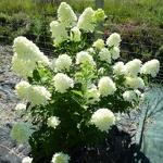 Hydrangea paniculata Candle (2)