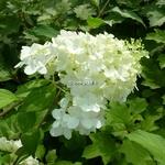 Hydrangea paniculata Dentelle de Goron