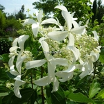 Hydrangea paniculata Great Star (4)