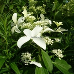 Hydrangea paniculata Great Star (5)
