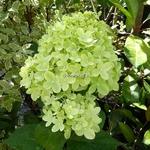 Hydrangea paniculata Little Lime (1)