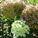 Hydrangea paniculata Little Lime (2)