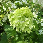 Hydrangea paniculata Little Lime (5)