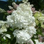 Hydrangea paniculata Phantom (4)