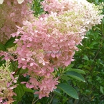 Hydrangea paniculata Phantom (14)
