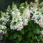 Hydrangea paniculata Pinky Winky (4)