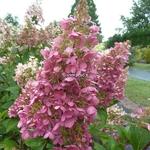 Hydrangea paniculata Pinky Winky (13)