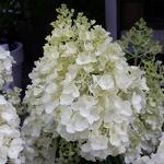 Hydrangea paniculata Silver Dollar (1)