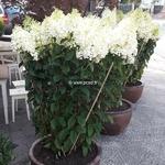 Hydrangea paniculata Silver Dollar (3)