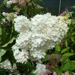 Hydrangea paniculata Vanille Fraise
