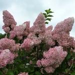Hydrangea paniculata Vanille Fraise (2)