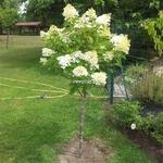 Hydrangea paniculata Vanille fraise Tige